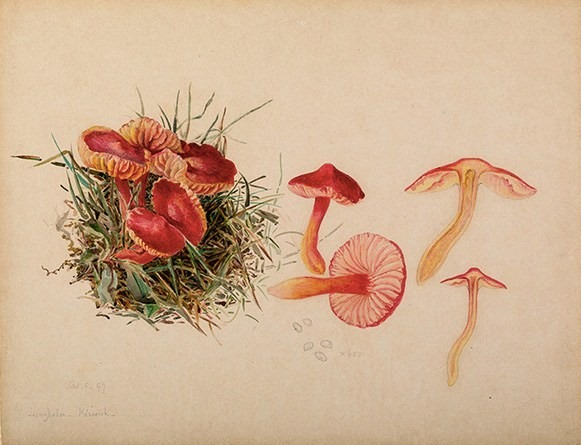 https://commons.wikimedia.org/wiki/File:Beatrix_Potter-_Mycology._Source-_Armitt_Museum_and_Library.jpg